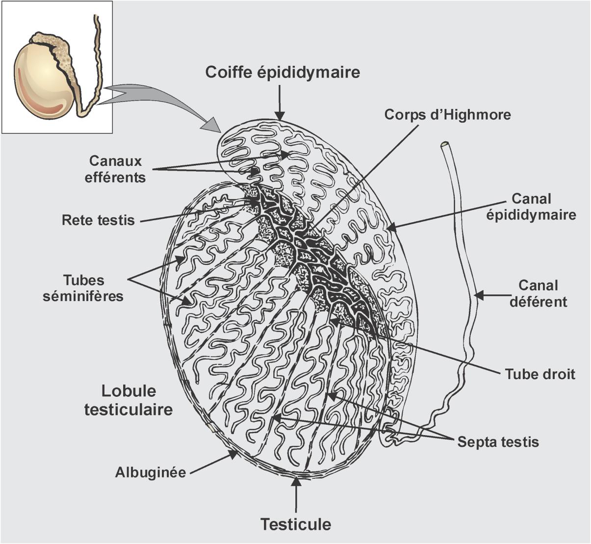 LA SPERMATOGENESE - poly-prepascom